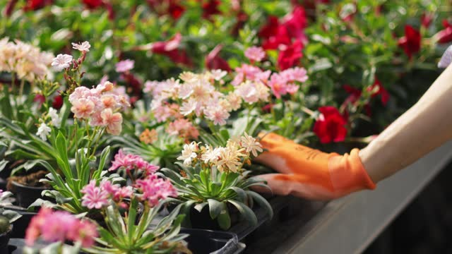 woman hand putting a flower pot in stand at the greenhouse - gardening glove stock videos & royalty-free footage