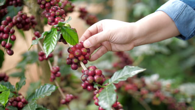 woman hand touching and checking coffee seed at coffee farm - cultivated land stock videos & royalty-free footage