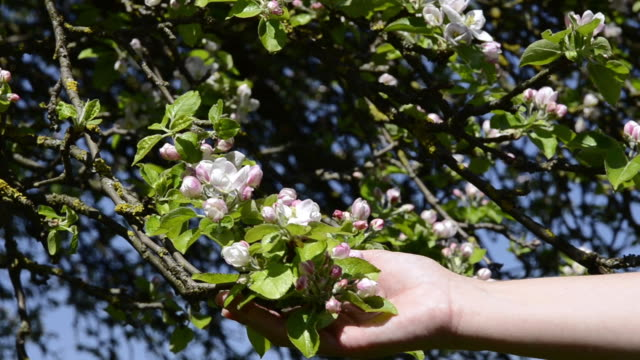 vídeos de stock, filmes e b-roll de ms woman hand touching apple blooming in flowering orchard / landshut, bavaria, germany - ramo parte de uma planta