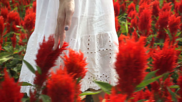 4k woman hand touching blossoms of red flower field - white dress stock videos & royalty-free footage