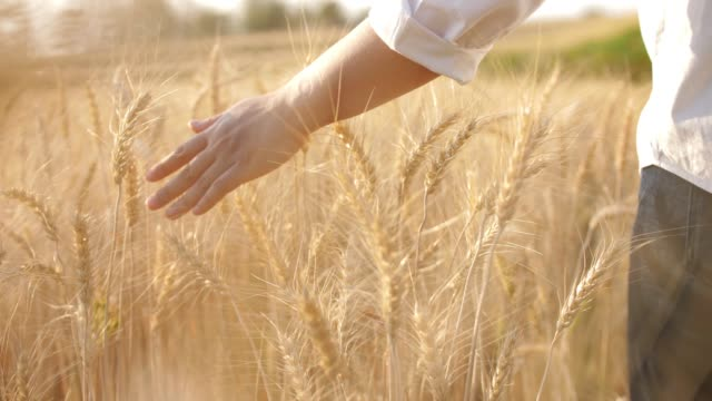 woman hand touching on golden wheat barley field , slow motion - cereal plant stock videos & royalty-free footage