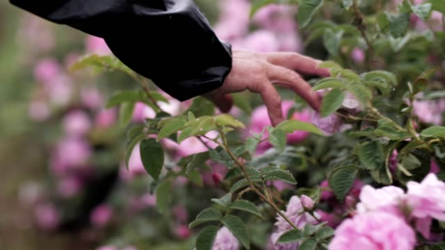woman hand touching pink roses blossoms. - man made object stock videos & royalty-free footage