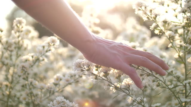 vídeos de stock e filmes b-roll de woman hand touching the flowers with sunset - campo