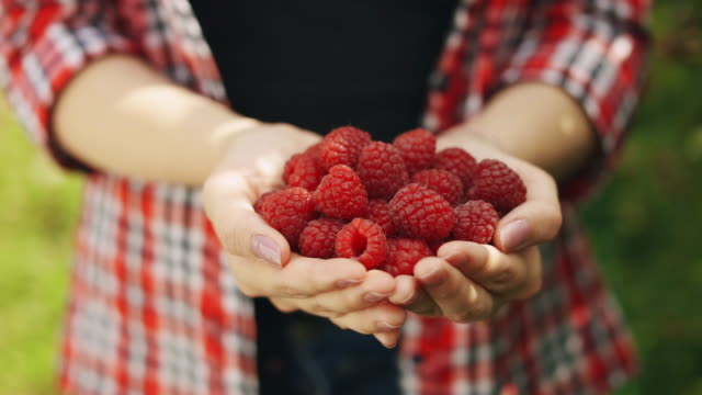 woman hands hold fresh organic raspberries from the bush - brambleberry stock videos & royalty-free footage