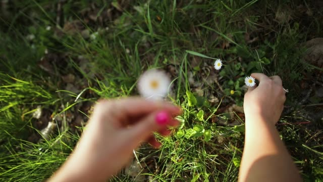 woman hands picking up daisy flowers - picking stock videos & royalty-free footage