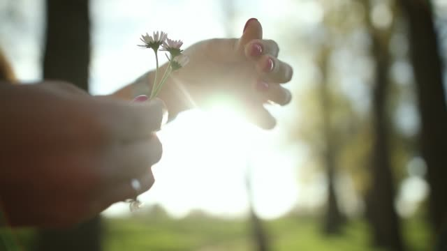 woman hands pulling petals off daisy flowers - choosing stock videos & royalty-free footage