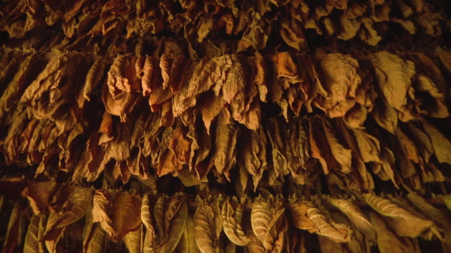 cu woman hanging tobacco leaves for drying / san luis, pinar del rio, cuba - tobacco crop stock videos & royalty-free footage