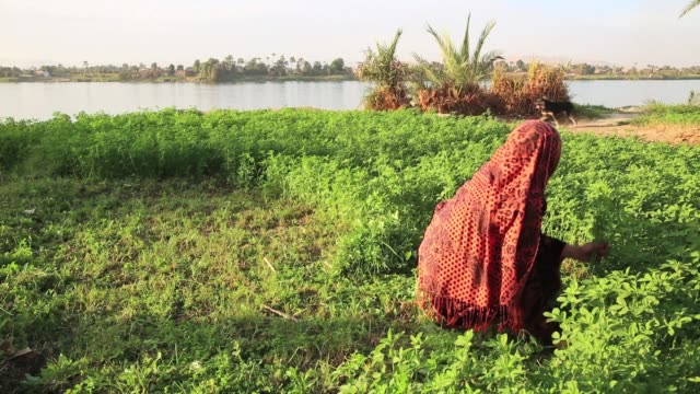 woman harvesting and kids playing on the nile riverbanks - ägypten stock-videos und b-roll-filmmaterial