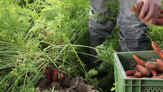 CU Woman harvesting carrots on organic farm / Brodowin, Brandenburg, Germany