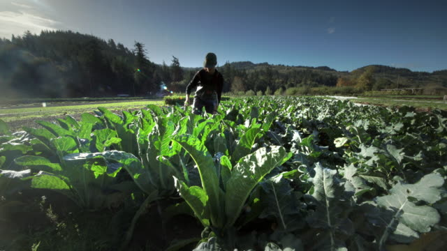 woman harvesting cauliflower on organic farm - carrying stock videos & royalty-free footage