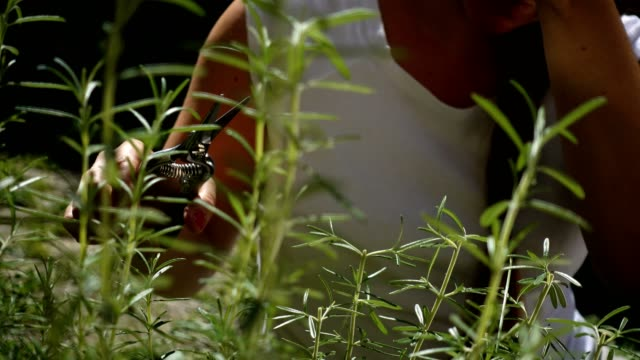 woman harvesting fresh rosemary. - ローズマリー点の映像素材/bロール