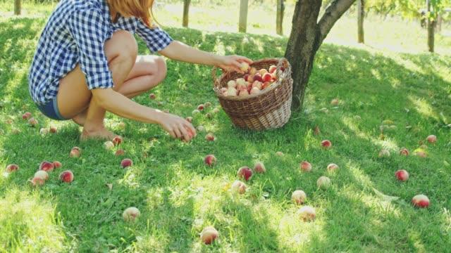 woman harvesting fresh,ripe peaches below tree,slow motion - gingham stock videos & royalty-free footage