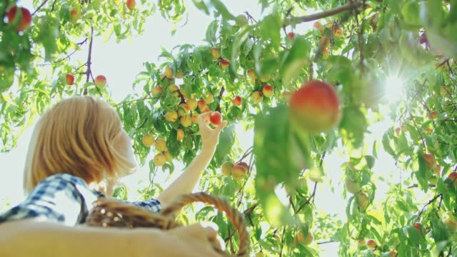 woman harvesting fresh,ripe peaches in orchard,slow motion - simple living stock videos & royalty-free footage