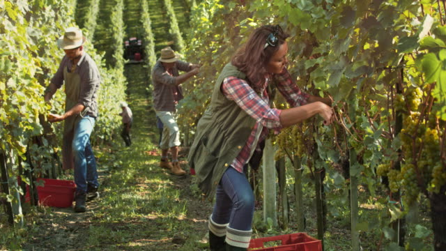 ds woman harvesting grapes by hand in vineyard - picking harvesting stock videos & royalty-free footage