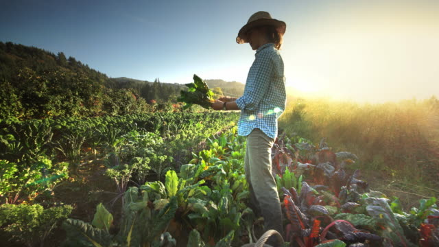 woman harvesting lettuce on organic family farm, oregon - produttore video stock e b–roll
