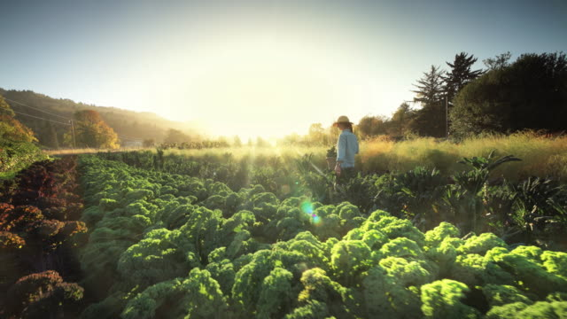 Woman harvesting lettuce on organic family farm, Oregon