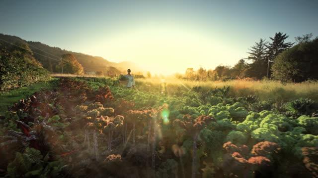woman harvesting lettuce on organic family farm, oregon - organic farm stock videos & royalty-free footage