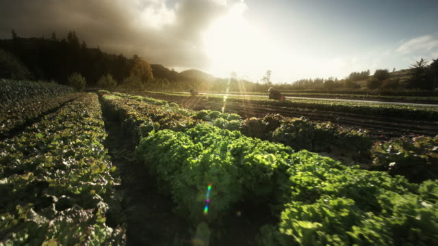 woman harvesting lettuce on organic farm - sun visor stock videos & royalty-free footage