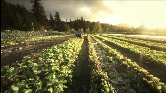 Woman Harvesting Lettuce on Organic Farm