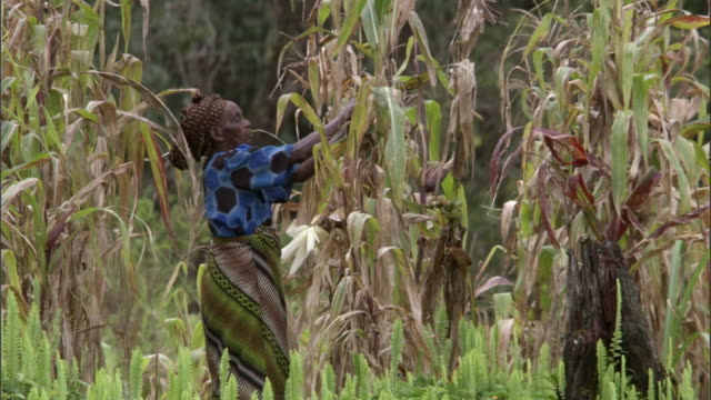 woman harvesting maize (zea mays) crop, mount rungwe, tanzania - corn cob stock videos & royalty-free footage