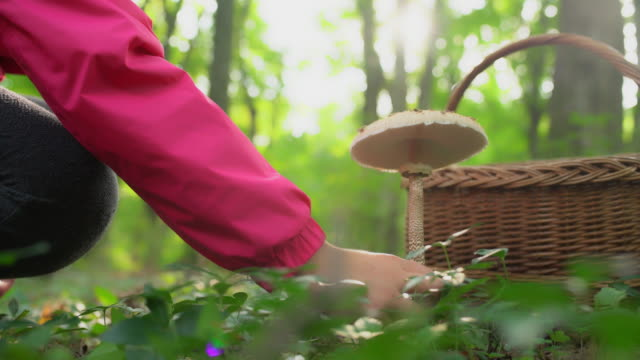 ms woman harvesting mushrooms in forest - picking mushrooms stock videos and b-roll footage