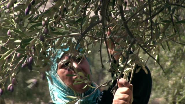 Woman harvesting olives, Burqin village, Jenin, Palestine