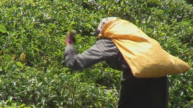 ms woman harvesting tea leaves on hill, ella, sri lanka - sri lankan culture stock videos & royalty-free footage