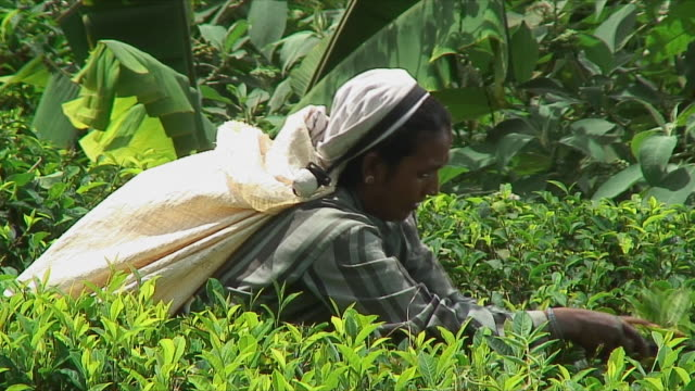 CU Woman harvesting tea leaves on hill, Ella, Sri Lanka