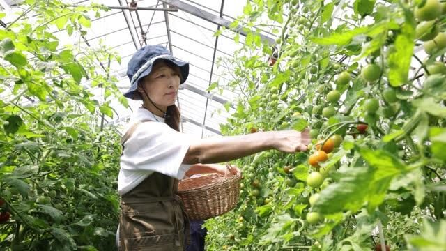 vídeos y material grabado en eventos de stock de a woman harvesting tomatoes at a tomato farm. - granja ecológica