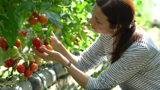 woman harvesting tomatoes in greenhouse - picking harvesting stock videos & royalty-free footage