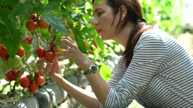 woman harvesting tomatoes in greenhouse - cherry tomato stock videos & royalty-free footage