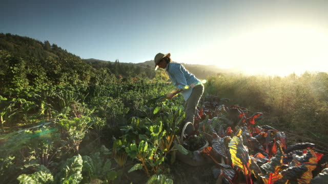 woman harvesting vegetables on organic farm - lavoratore agricolo video stock e b–roll