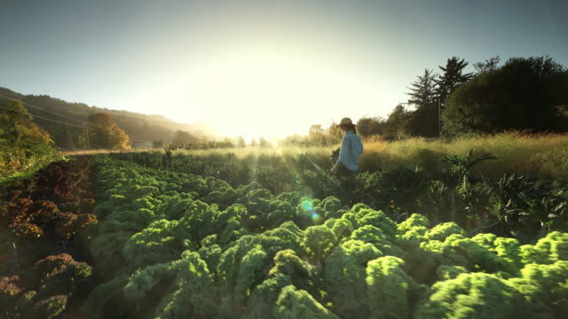 woman harvesting vegetables on organic farm - environmental issues stock-videos und b-roll-filmmaterial