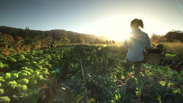 woman harvesting vegetables on organic farm - environmental conservation stock-videos und b-roll-filmmaterial
