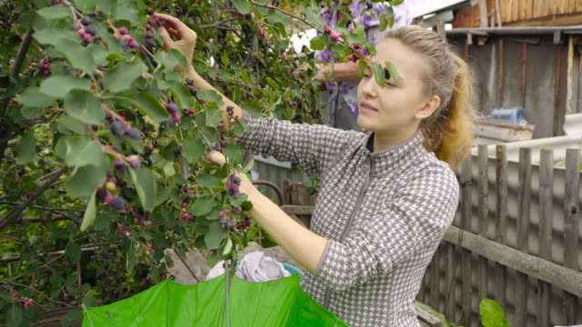 vidéos et rushes de woman harvests trees shadberry. - potager