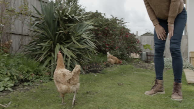 woman holding hen chicken and let loose in garden at home, simple living - female animal stock videos & royalty-free footage