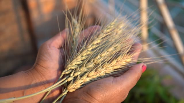 woman holding wheat ear wheat grain in her hands. - two objects stock videos & royalty-free footage