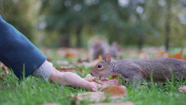 a woman holds out her hand to feed some squirrels in the park - cultures stock videos & royalty-free footage