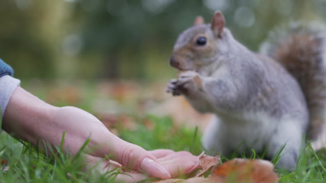 a woman holds out her hand to feed some squirrels in the park - city break stock videos & royalty-free footage