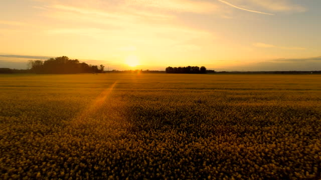 hd heli: woman in the canola field at sunset - oilseed rape stock videos & royalty-free footage