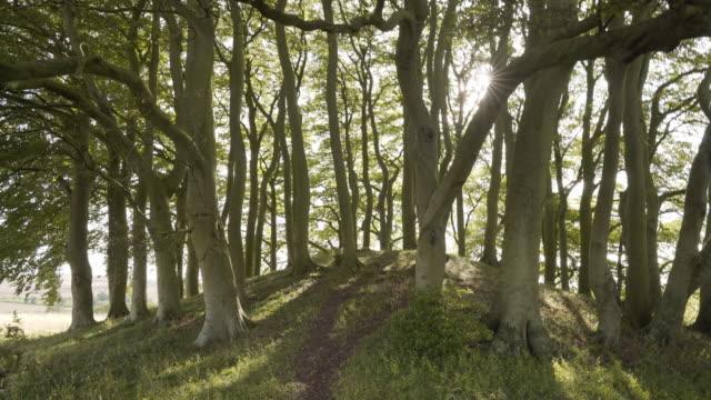 vídeos de stock, filmes e b-roll de uma mulher à distância através das árvores de faia explorando os barrows avebury em overton hill - faia árvore de folha caduca