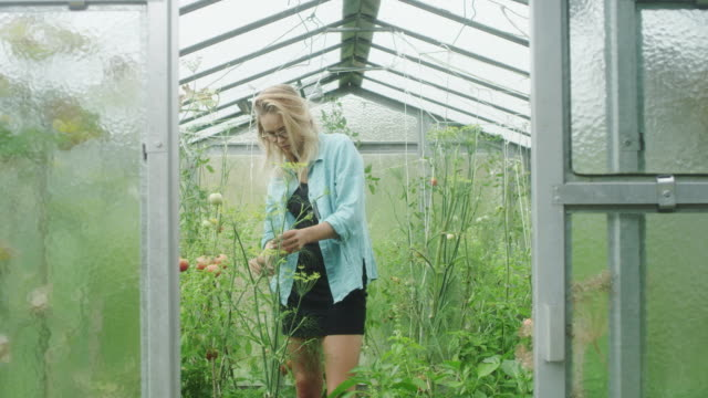 Woman in the greenhouse. Checking tomatoes