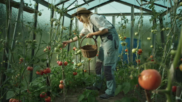 woman in the greenhouse. picking and smelling ripe tomatoes - local produce stock videos & royalty-free footage