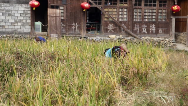woman in traditional clothing working in rice field - rice paddy stock-videos und b-roll-filmmaterial