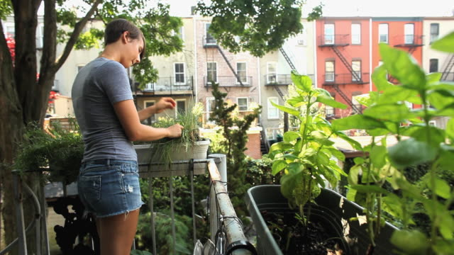 MS Woman inspecting and picking chives on balcony / Jersey City, New Jersey, USA