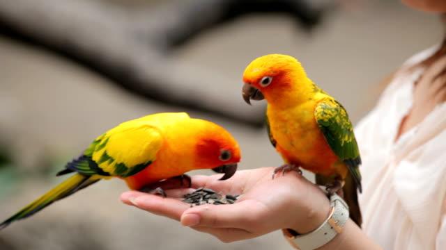 Uma mulher é alimentação papagaio colorido A mão