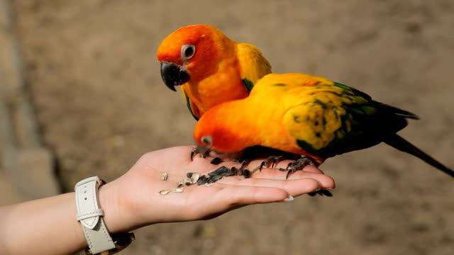 A woman is feeding colorful parrot on hand