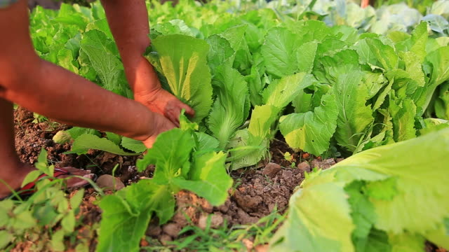 Woman is harvesting a vegetable in garden