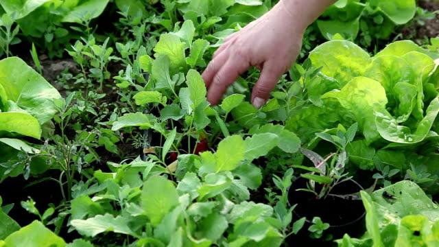 大根の女性が自分のオーガニック野菜畑 - アブラナ科点の映像素材/bロール