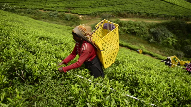 woman is picking tea in nuwara eliya - lavoratore agricolo video stock e b–roll